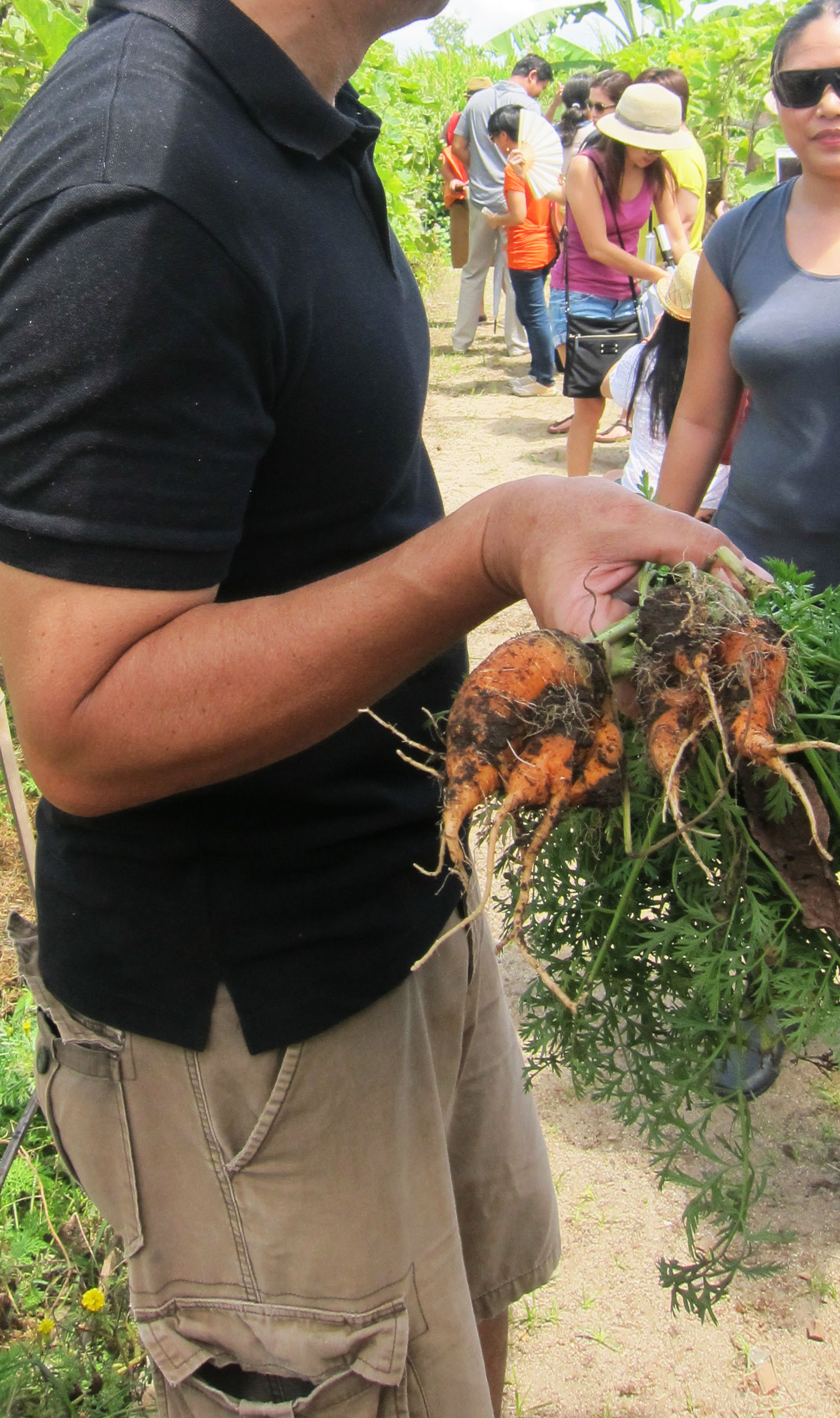 pulling for carrots